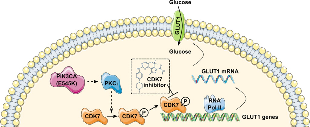 Glucose consumption mechanism. CDK7 regulates GLUT1 expression levels, glucose transport, and glucose consumption.