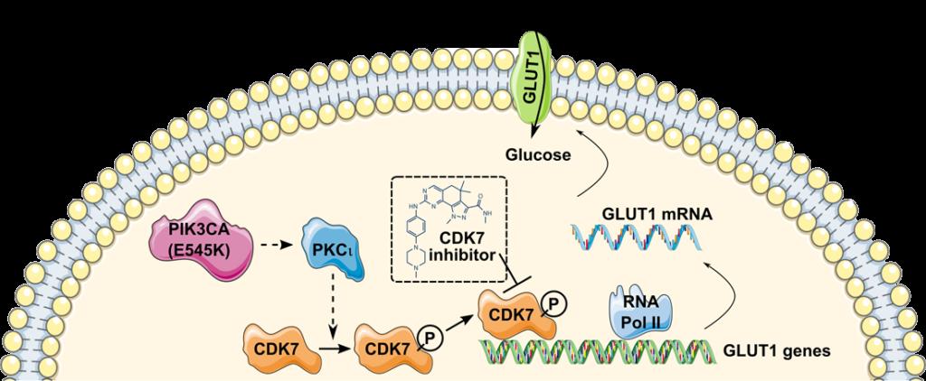 Glucose consumption mechanism. CDK7 regulates GLUT1 expression levels, glucose transport, and glucose consumption.
